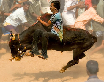 Jallikattu (photo by Carlos Gilsobera)