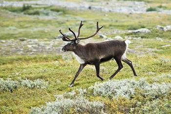 Reindeer (photo by Alexandre Buisse)