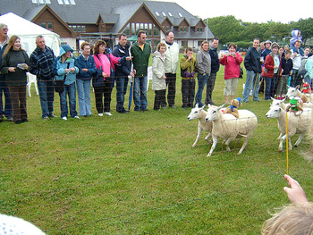 Sheep race on the island of Sark (photo by Pepitoe)