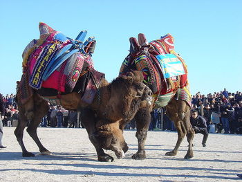 camel wrestling in Turkey