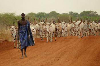 Dinka man with his cattle