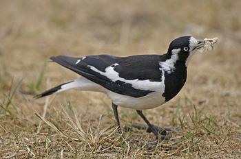 magpie lark