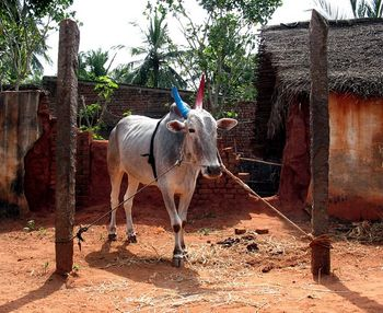 Cow on Maatu Pongal